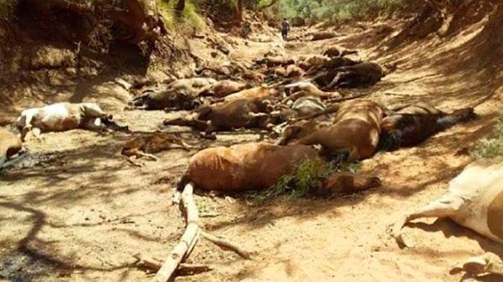 Caballos muertos en Australia